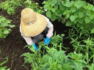 えごま栽培